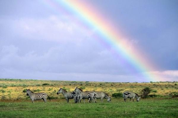 Cebras comiendo bajo un arcoíris