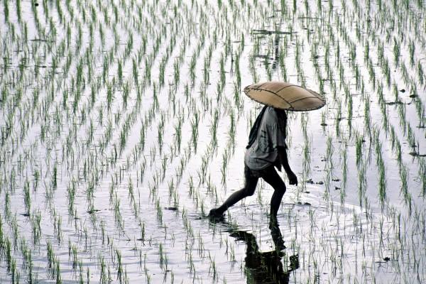 Campo de arroz inundado