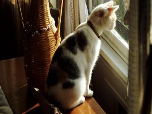 Postal: Gato observando por la ventana