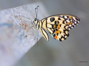Postal: Papilio demoleus