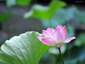 Una delicada flor de loto