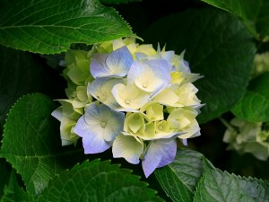 Postal: Hortensia de flor amarilla y violeta