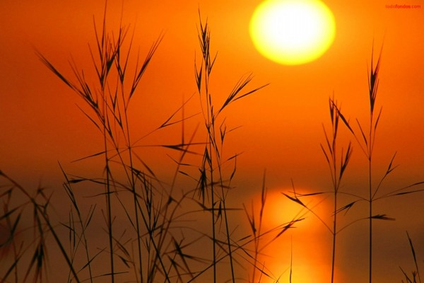 Espigas con el Sol de fondo