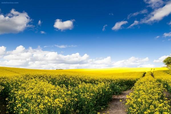 Flores y más flores amarillas