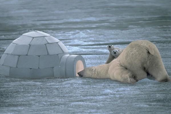 Osos polares visitando un iglú