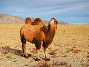 Camello en el Desierto de Gobi (Mongolia)