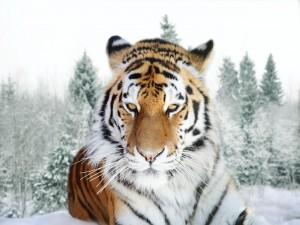 Postal: Tigre siberiano