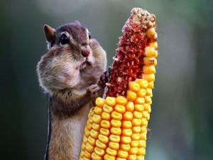 Postal: Ardilla comiendo maiz