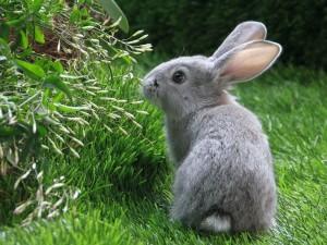 Postal: Conejito gris en la hierba