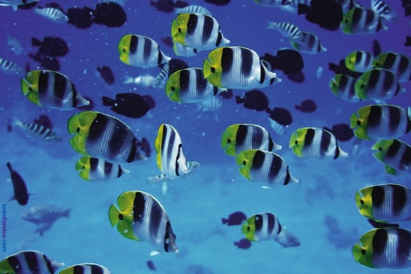 Banco de peces tropicales en el mar
