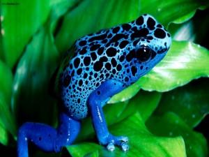 Rana azul con manchas negras