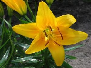 Hermoso lilium amarillo