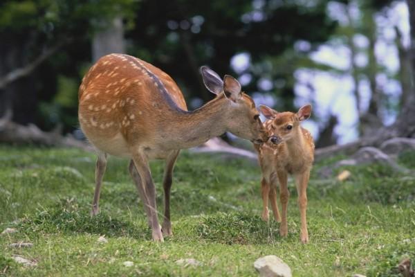 Cervatillo con su madre