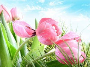 Postal: Tulipanes rosas
