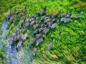 Postal: Estampida de cebras
