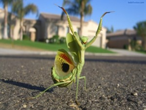 Postal: Mantis saludando