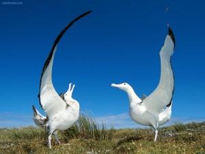 Postal: Pareja de albatros errantes