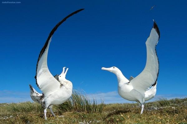 Pareja de albatros errantes