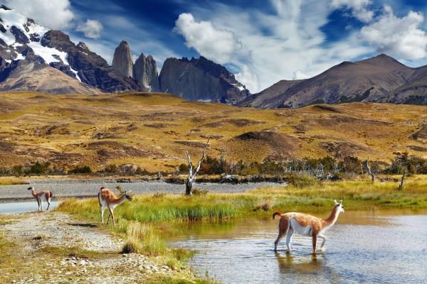 Guanacos en el Parque Nacional Torres del Paine (Chile)