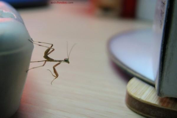 Pequeña mantis
