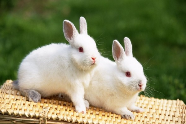 Dos conejitos blancos