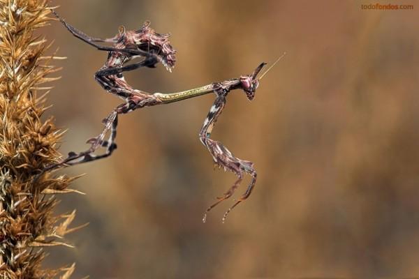 Una mantis perfectamente camuflada
