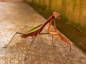 Mantis cobriza