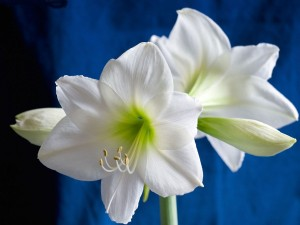 Azucena blanca