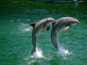 Delfines saltando a dúo