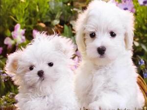 Dos hermosos y tiernos perritos blancos