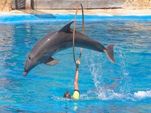 Delfín saltando por el aro