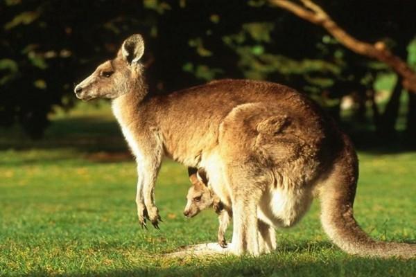 Canguro con su cría