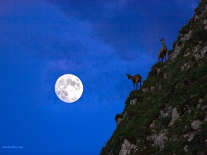 Postal: Rebecos a la luz de la luna