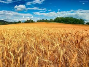 Postal: Campo de trigo dorado