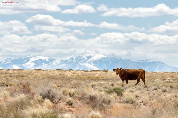 Una vaca sola en la llanura