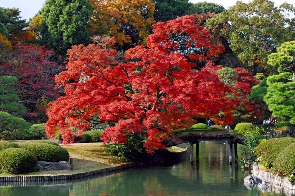 Jardín oriental con un árbol de hojas rojas