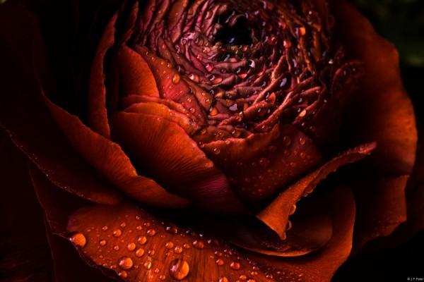 Flor roja húmeda