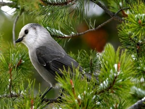 Postal: Pájaro gris