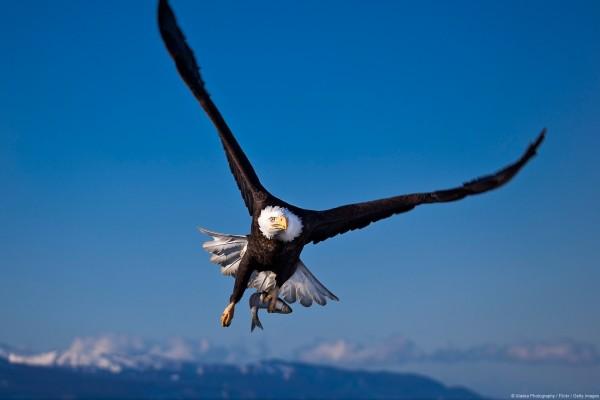 Águila pescando