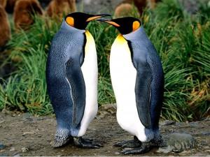 Postal: Pareja de pingüinos frente a frente