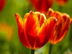 Postal: Tulipanes anaranjados