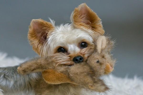 Yorkshire Terrier con un peluche en la boca