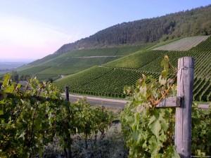 Postal: Campos de viñedos en Alemania