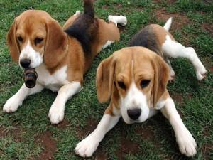 Postal: Dos cachorros de beagle