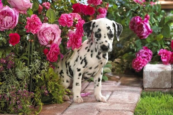 Cachorro de dálmata en el jardín