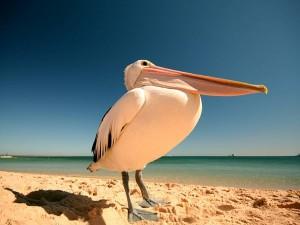 Postal: Pelícano en la playa