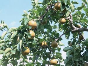 Fruta en el árbol