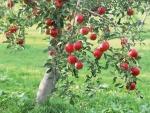Un manzano repleto de manzanas rojas