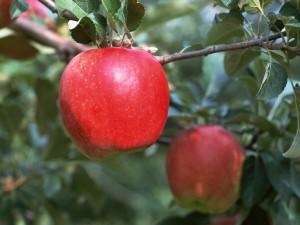 Manzanas rojas en su rama