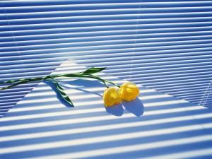 Postal: Dos tulipanes amarillos sobre la mesa